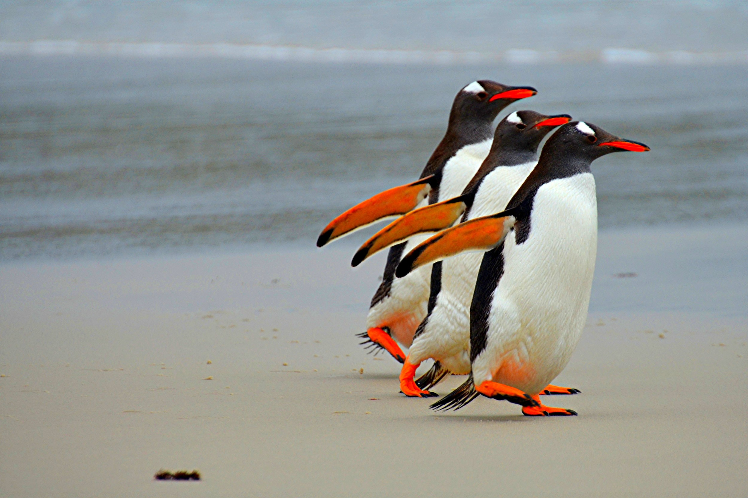 Gentoo penguins on the Falkland Islands