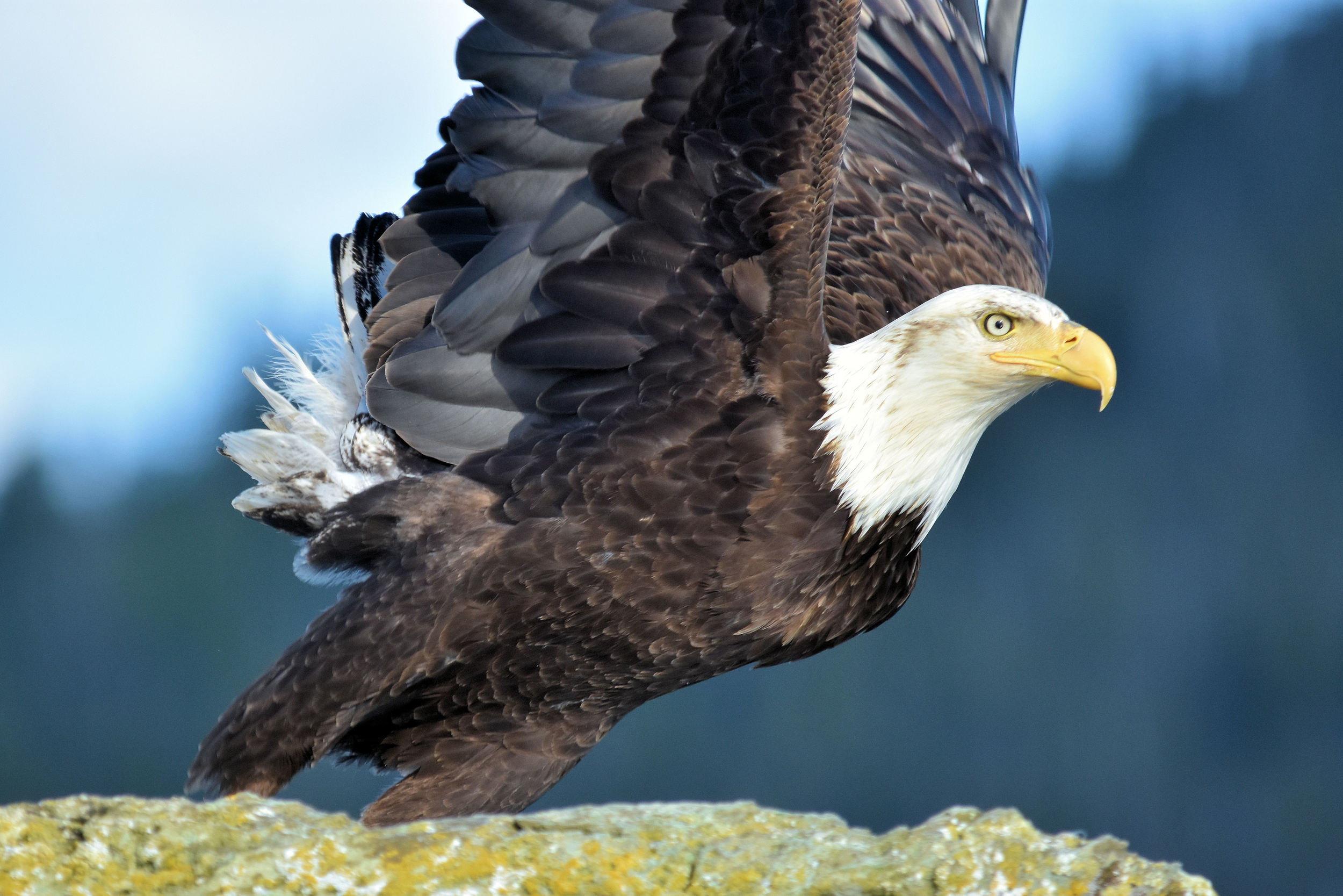 Too close for comfort: a bald eagle gets ready for take-off from his perch on a rocky outcropping south of Ketchikan, Alaska