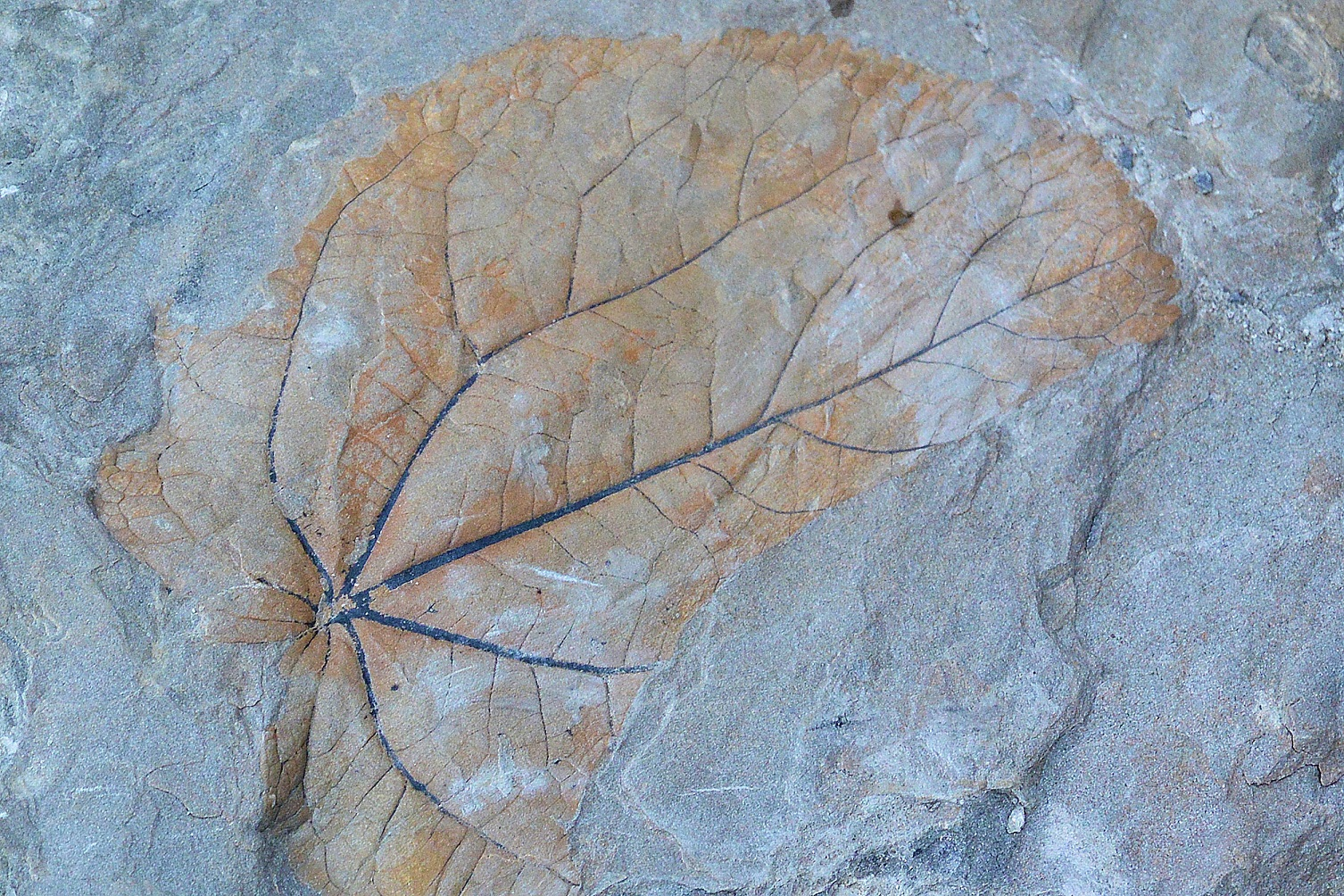 A perfect imprint of a leaf, 40 to 50 million years old, is only one of many remarkable fossils found in the moraines of Longyear glacier on the island of Spitsbergen 1,300 km (800 mi) north of the Arctic Circle. The impression was chipped and damaged by a fossil hunter.