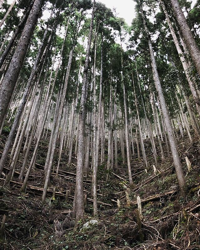 #Ukegawa ↗️↘️ #Koguchi: 7.7 miles, 2,054 feet of climb, and lots of towering trees swaying in the wind. #kumanokodo #🌬🌲 #⛰