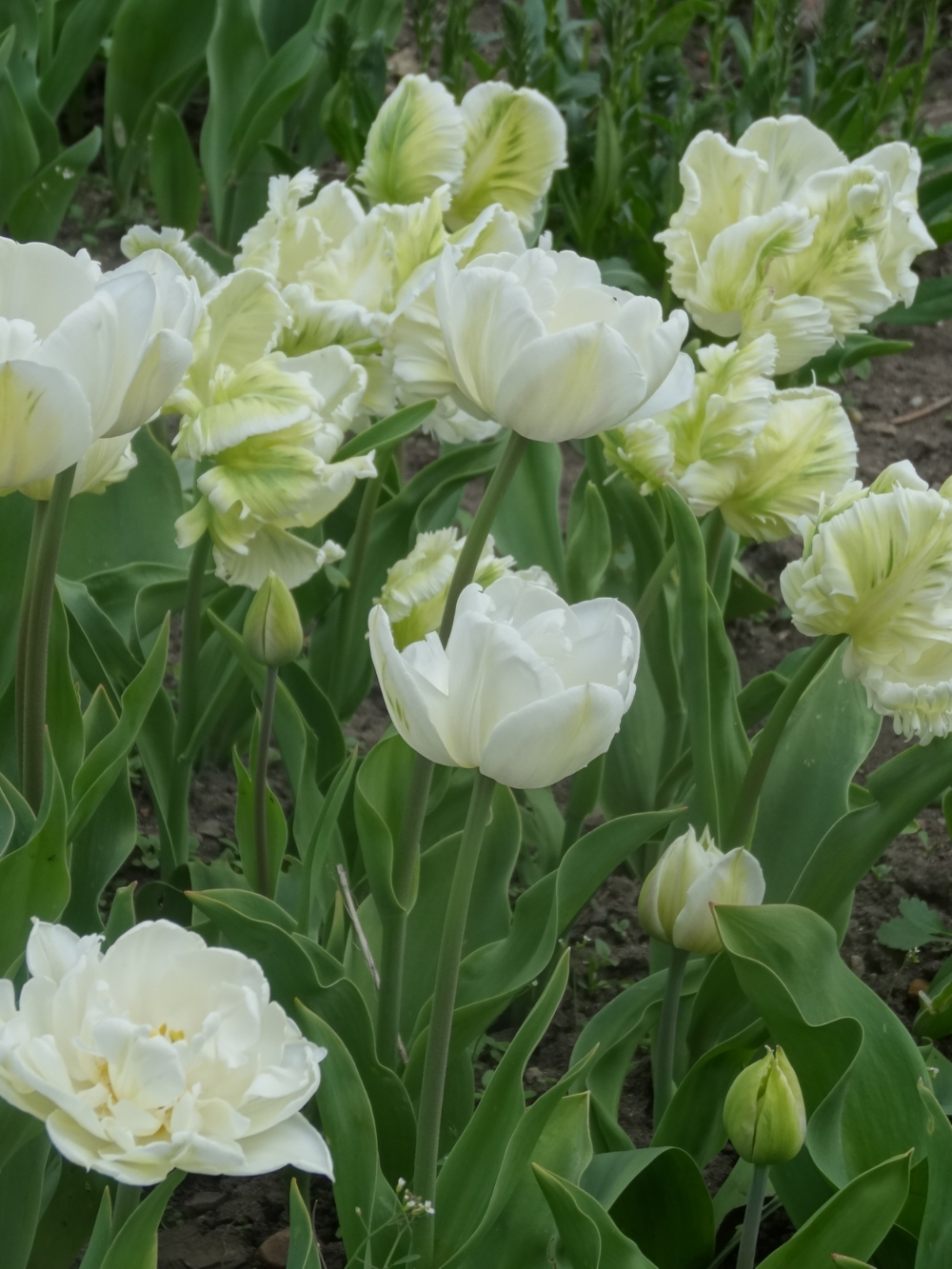 April flowers 15 034.jpg