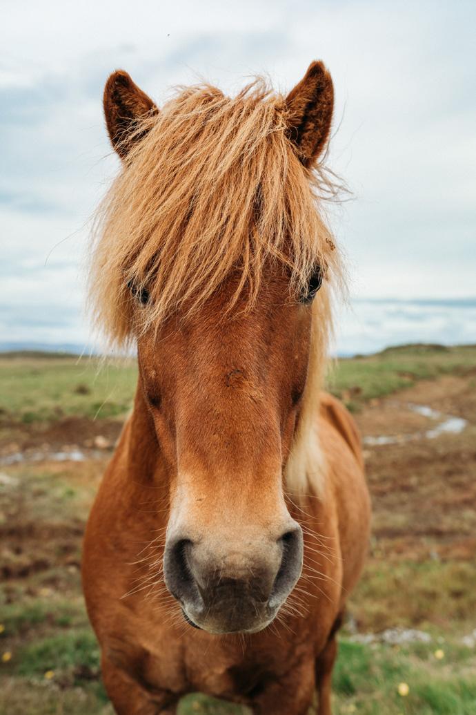 Icelandic Horse. Snæfellsnes Peninsula, Iceland