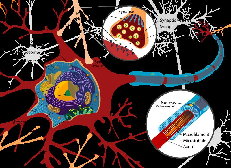 Anatomy of a neuron (Source  Wikimedia Commons )