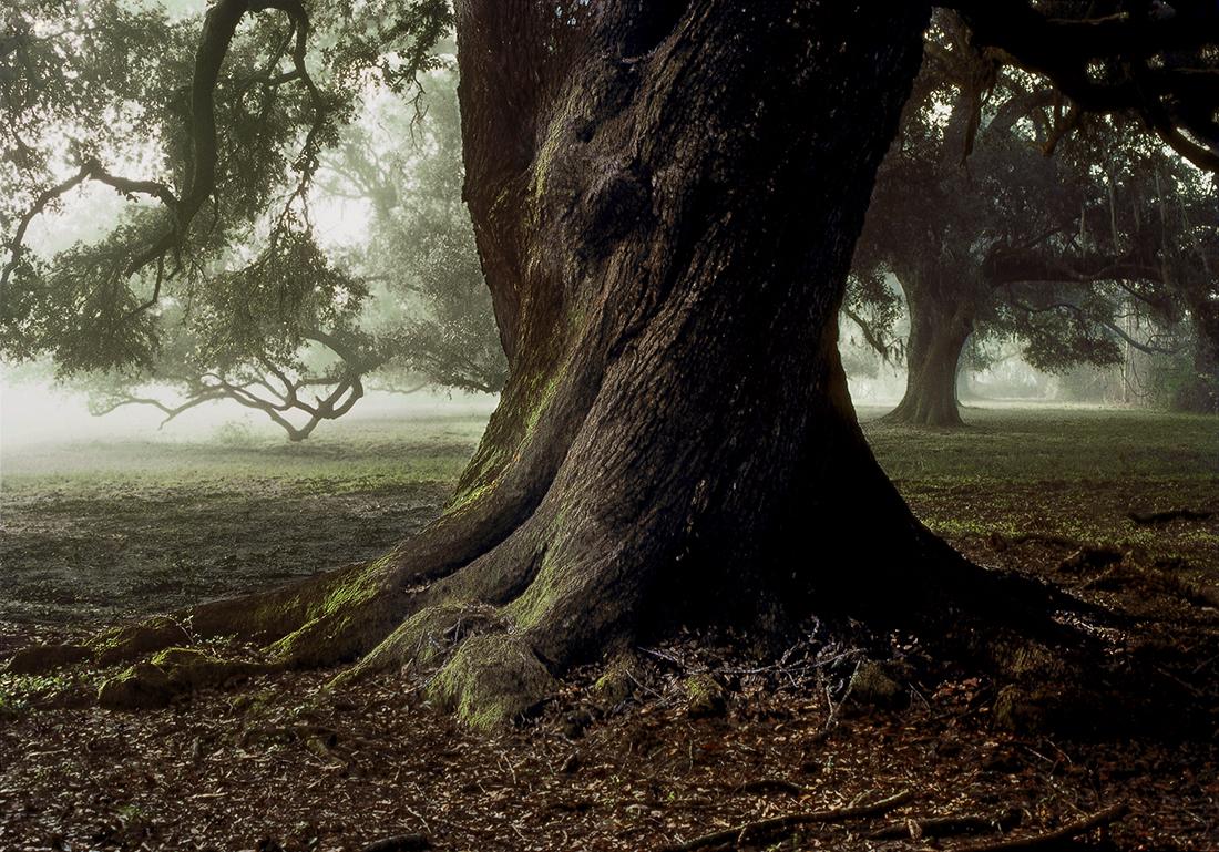 Twisting Oak