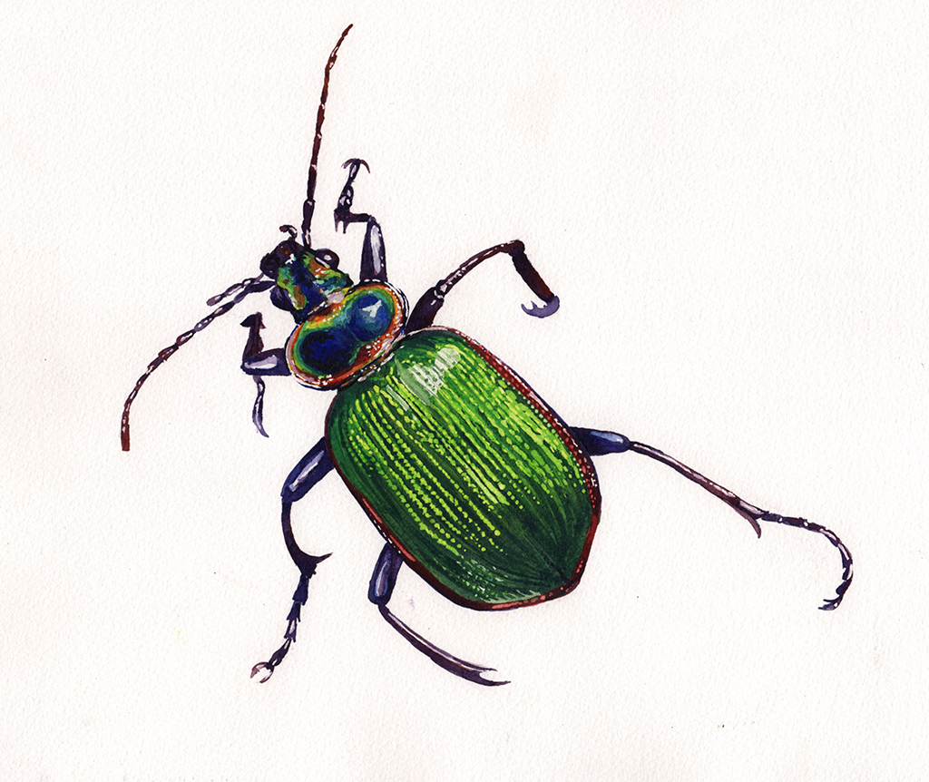 Beetle Watercolor
