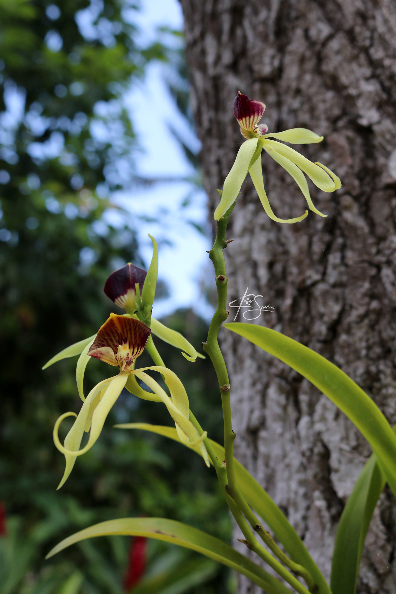 Black Orchids - Belize
