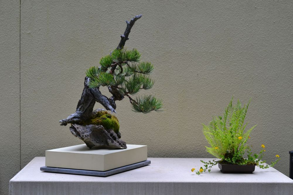 Typical Bonsai in display with an accompanying kusamono