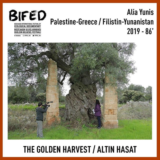 The Golden Harvest plays at BIFED in Turkey tomorrow! #bifed2019 #documentary #oliveoil #turkey . . #Greece #spain #italy #palestine #mediterraneandiet #femaledirector #writer