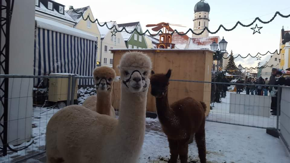Alpacas at a Christmas Market