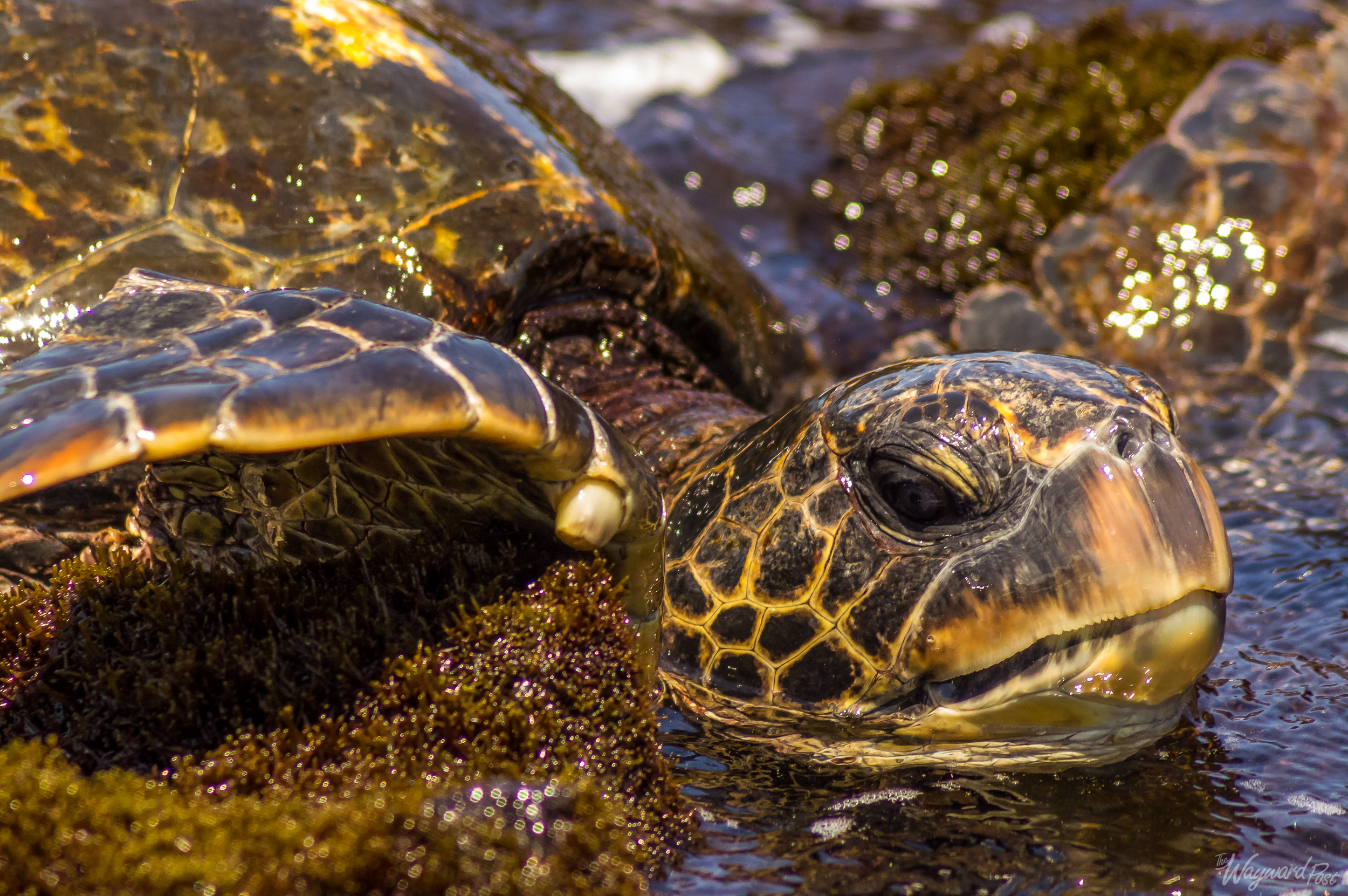 """A Green Sea Turtle seen on Laniakea Beach, sometimes referred to as """"Turtle Beach."""" This beach can be found on the north shore of Oahu."""