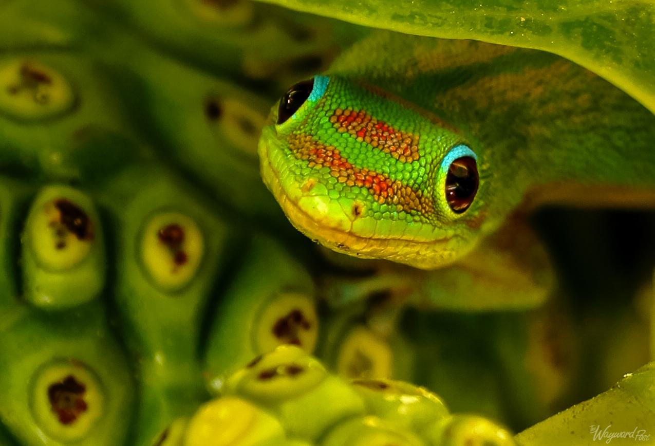 A gecko spotted near Kailua-Kona, on the island of Hawaii.