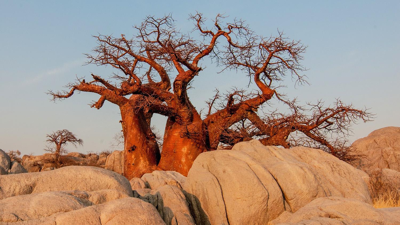 Botswana Baobab Tree sunrise