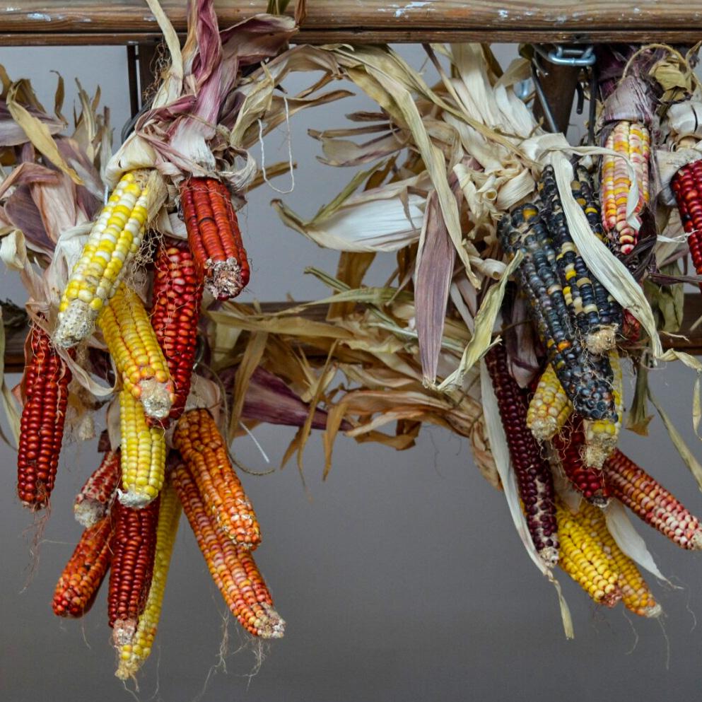 Dried Corn Hanging in Pigeon Hole Cafe, Hobart - Julia Reynolds