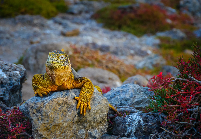 A land iguana. Photo by Johanna Read, TravelEater.net.