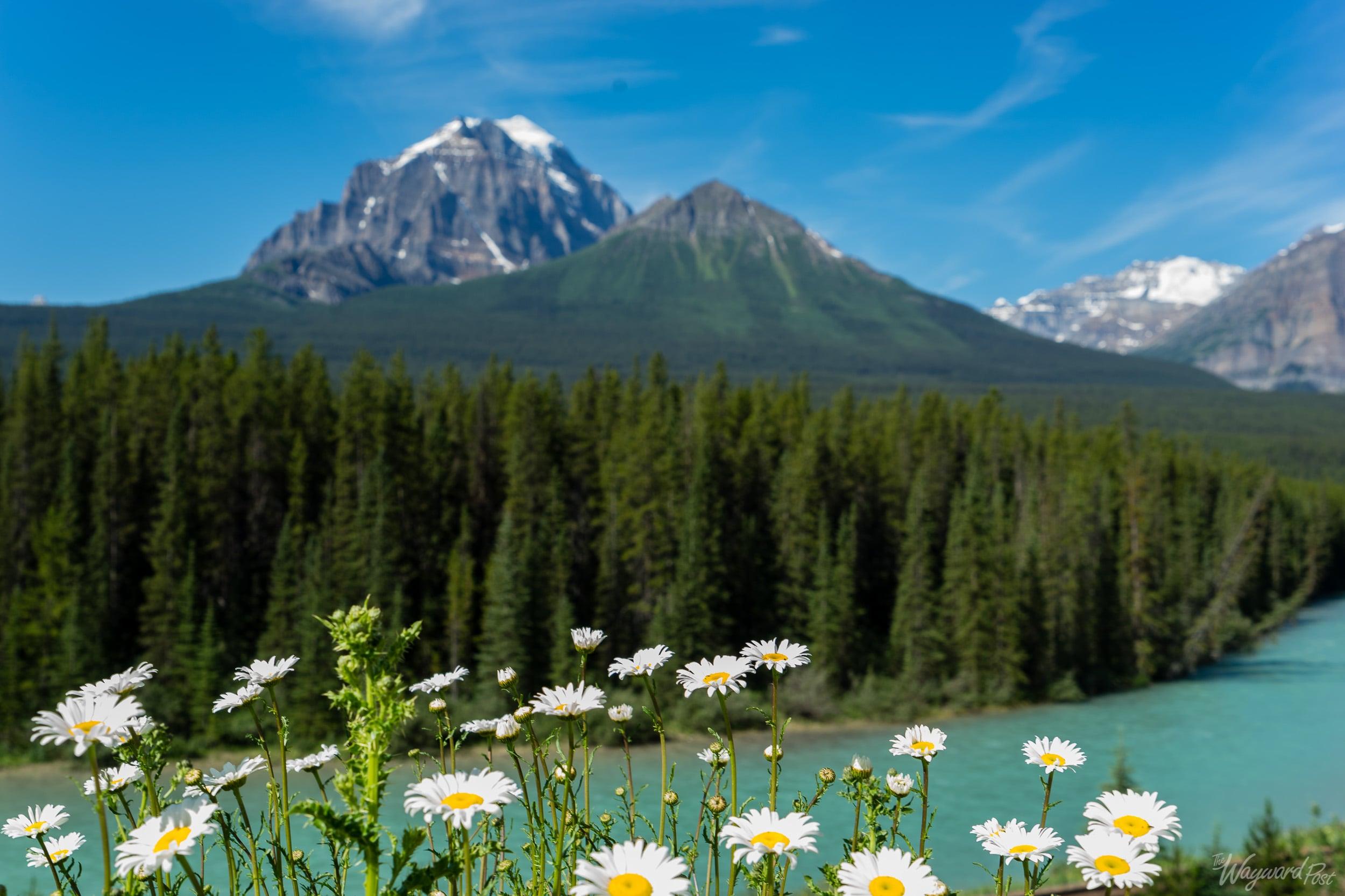 Bow River Summer Flowers -The Wayward Post - Photo Story - Banff National Park.