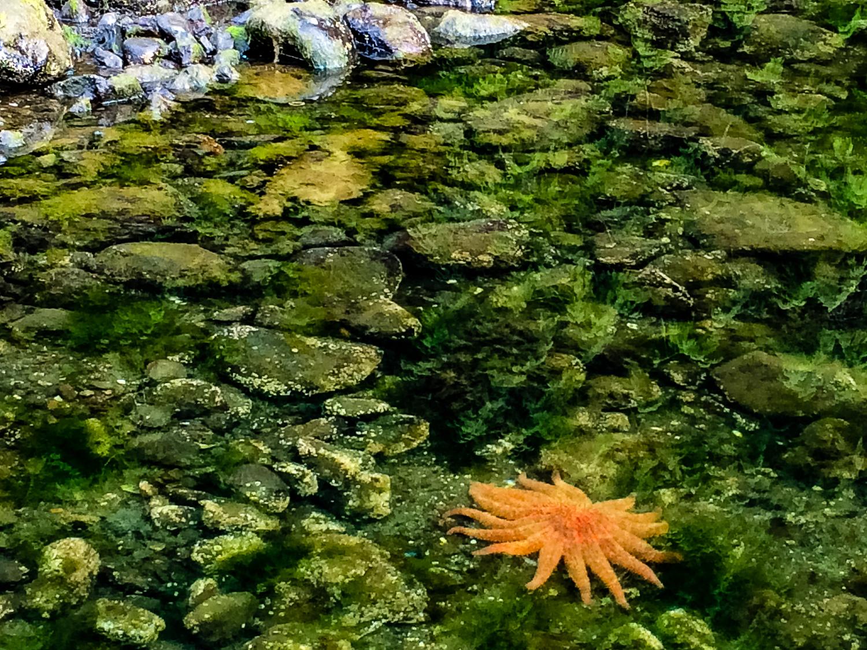Nimmo Bay sea star. Photo by Johanna Read TravelEater.net