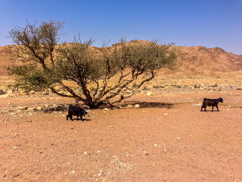 The Wayward Post - Sustainable Travel Off-Grid at Feynan Ecolodge, Jordan-11.jpg
