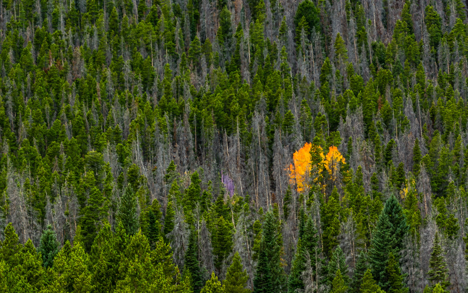 Burst of Autumn Color in Rocky Mountain National Park