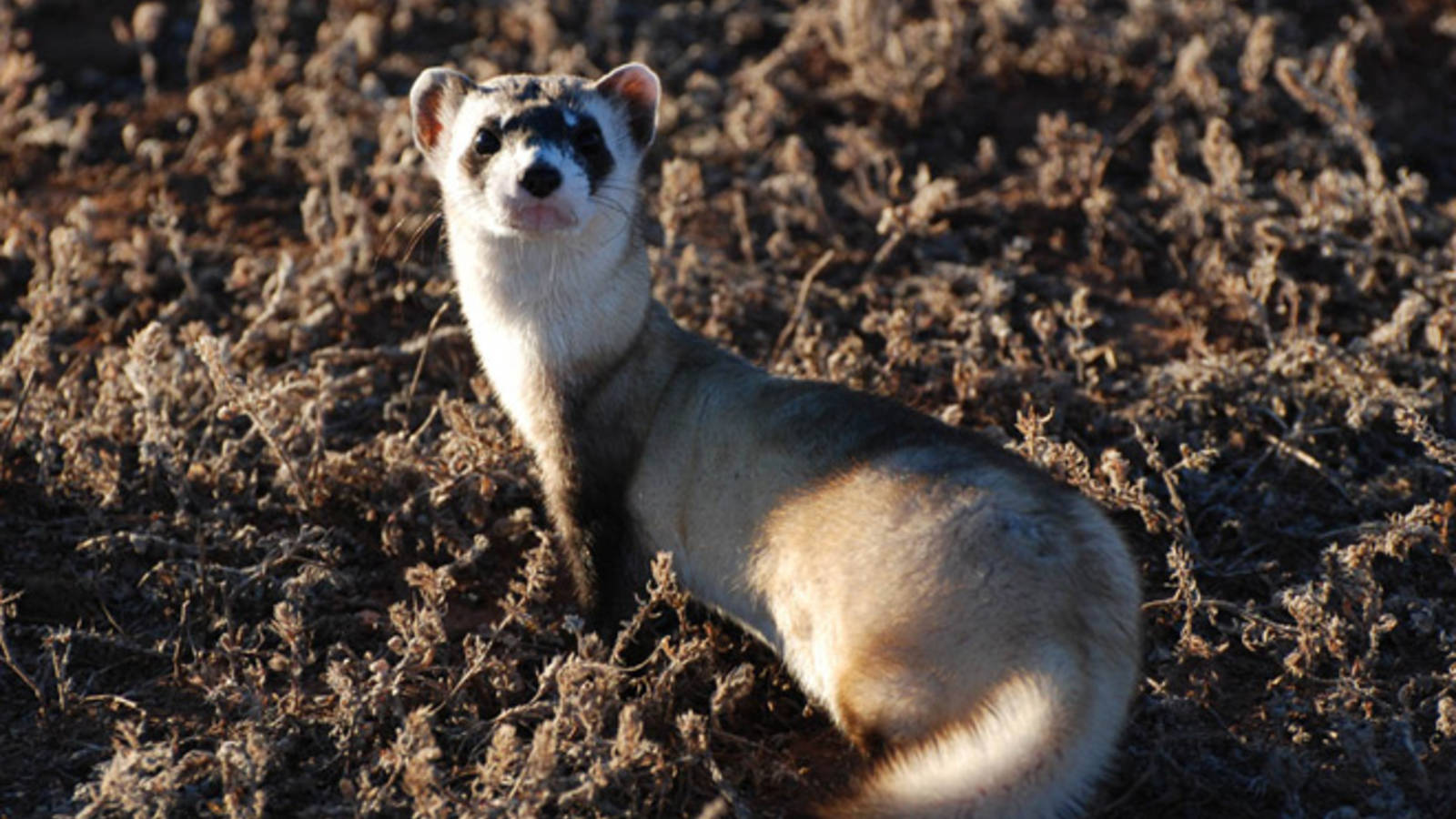 A black-footed ferret in Wind Cave National Park - NPS photo