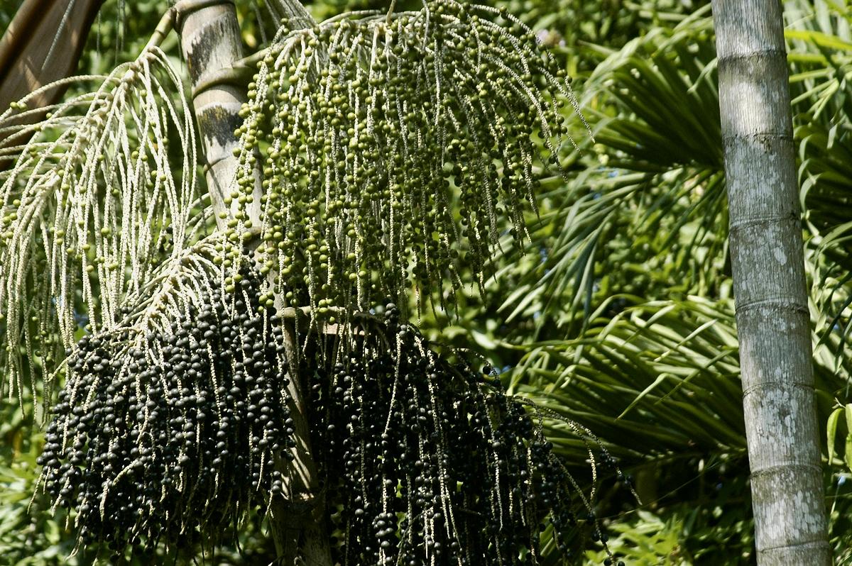 Acai fruit on growing palm tree. CC BY-SA 3.0 CostaPPPR