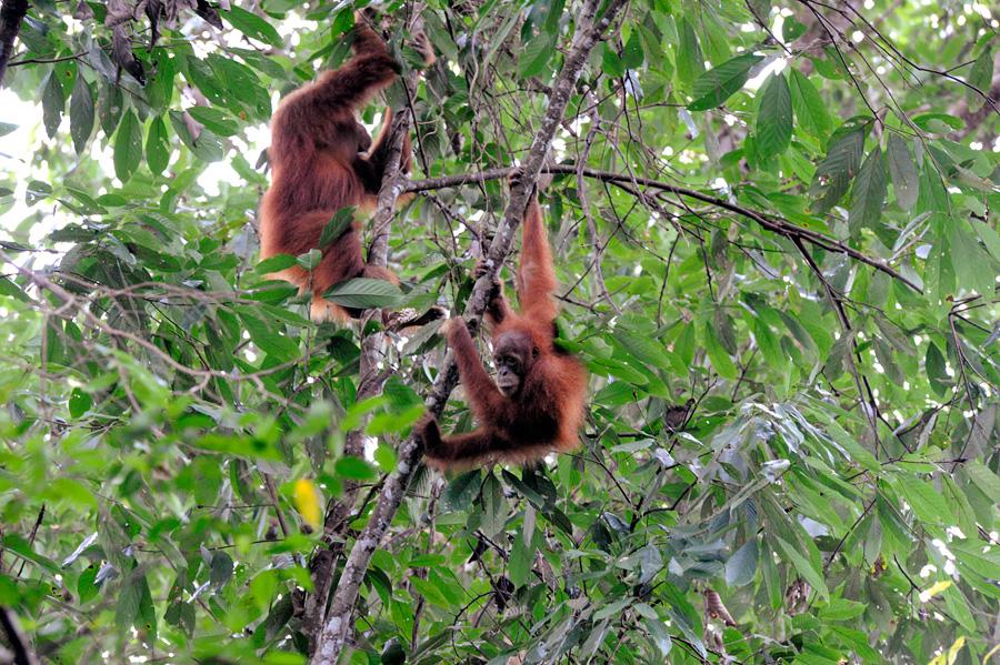 Orangutan Sighting