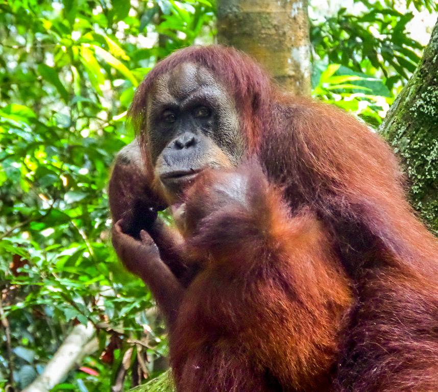 Orangutan_Sighting_4.jpg