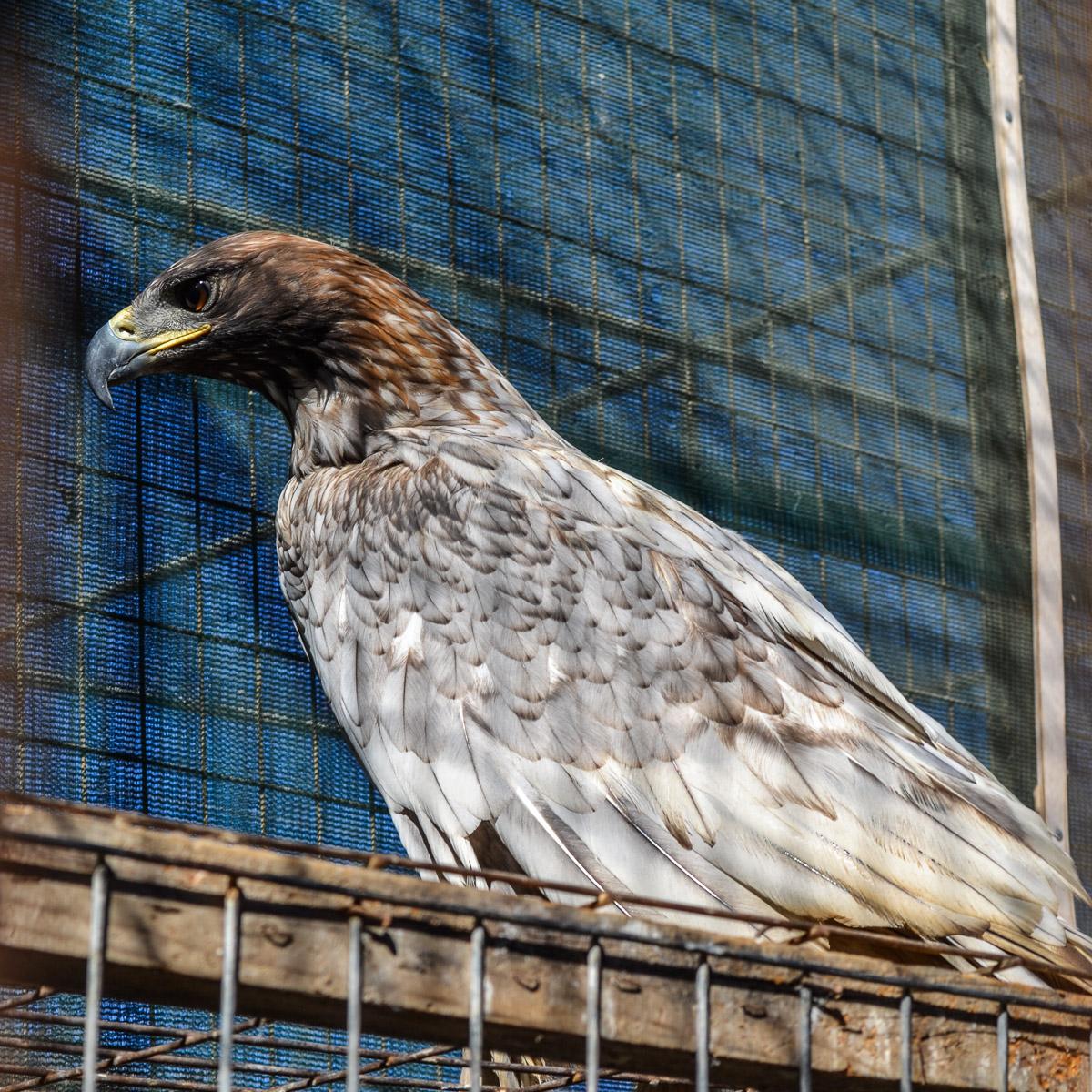 Golden Eagle. Photo by Nadja Sayej