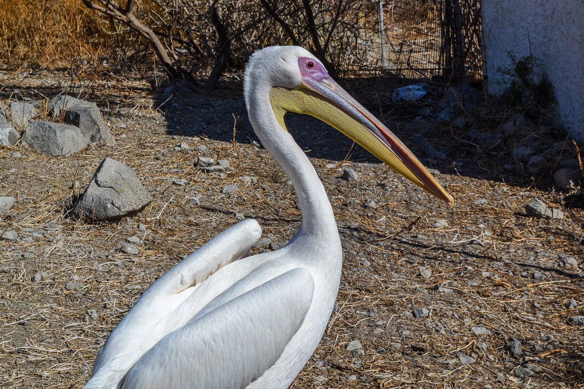 Pelican. Photo by Nadja Sayej