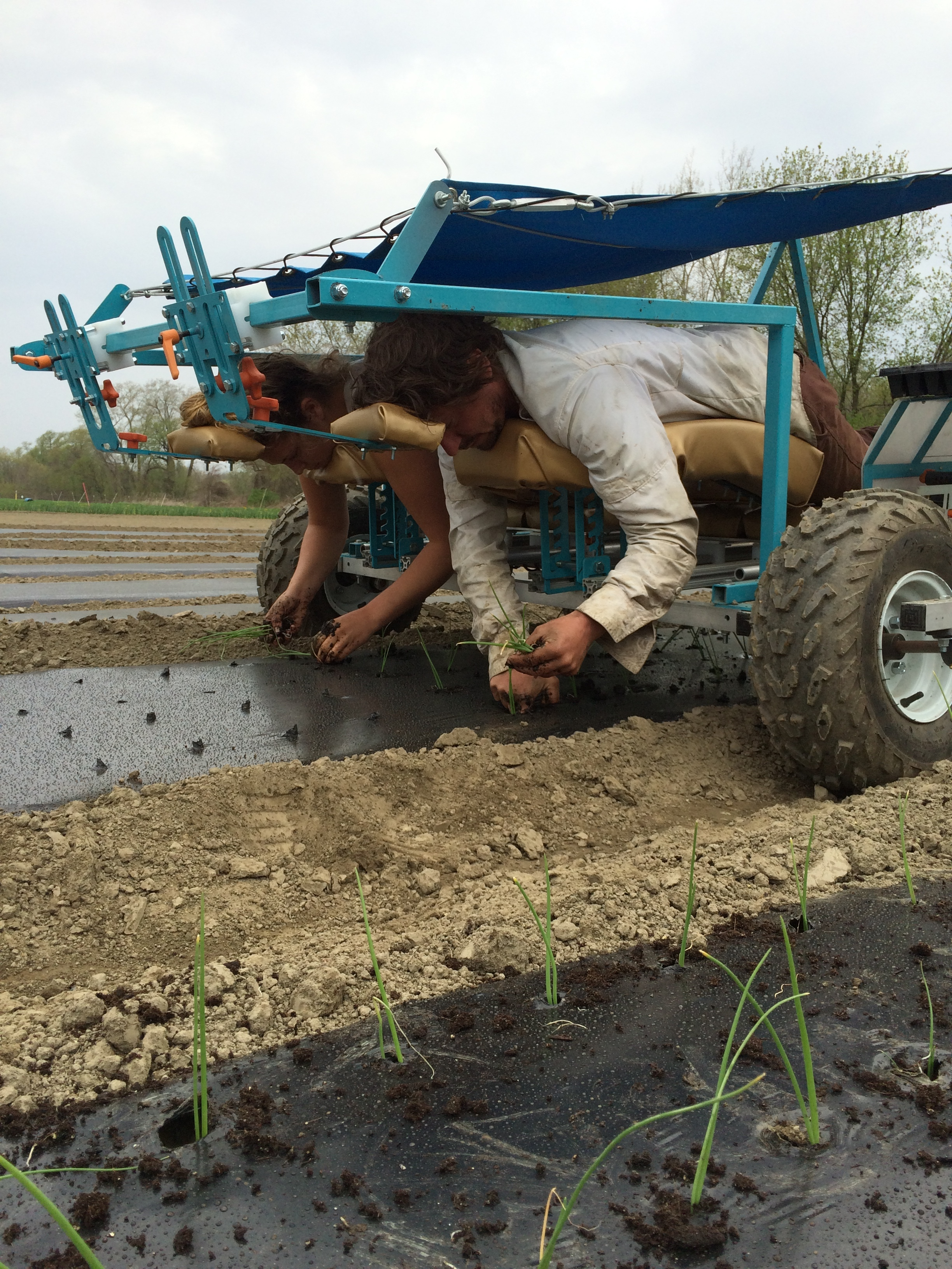 Transplanting onion starts      << Work platforms are easily removable to switch from one to two operators