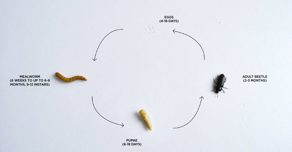 The lifecycle of the mealworm
