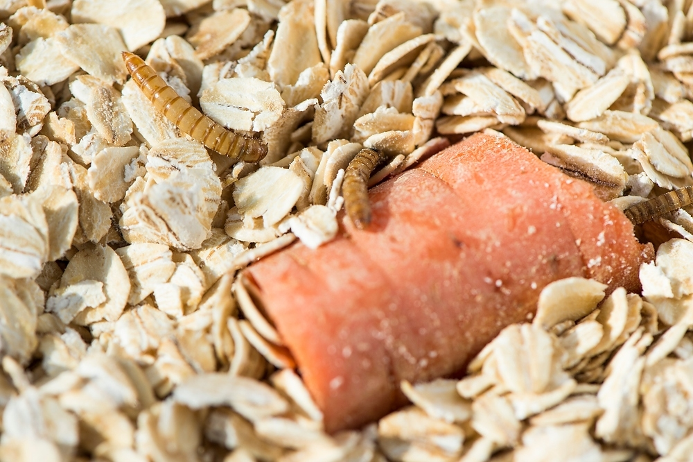 Mealworms consuming oats and carrot.  photo from: https://news.wisc.edu/could-squirmy-livestock-dent-africas-protein-deficit/