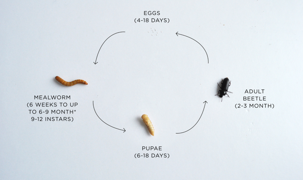 Optimize to Grow 4 Distinct Lifecycles from ↪️🥚➡️🐛➡️🦠➡️🐞↩️