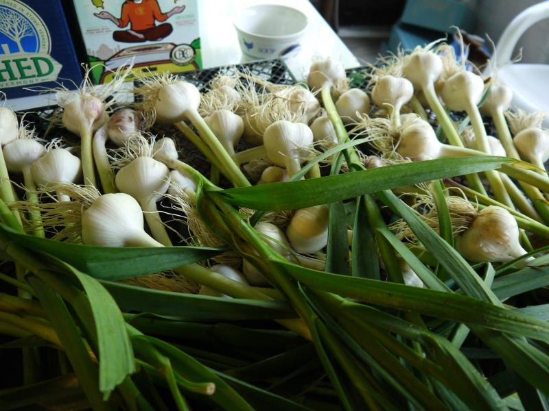 garlic harvested.jpg