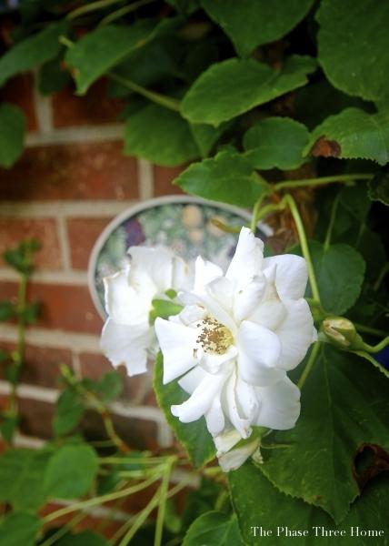 climbing rose against climbing magnolia