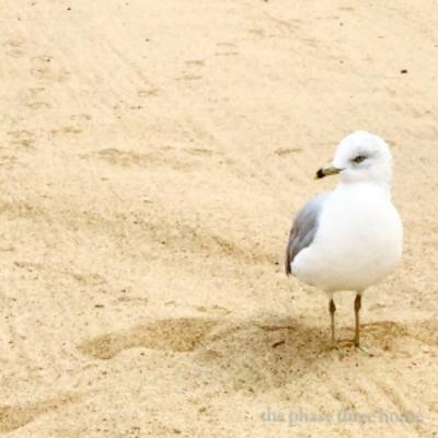 seagull, lake michigan