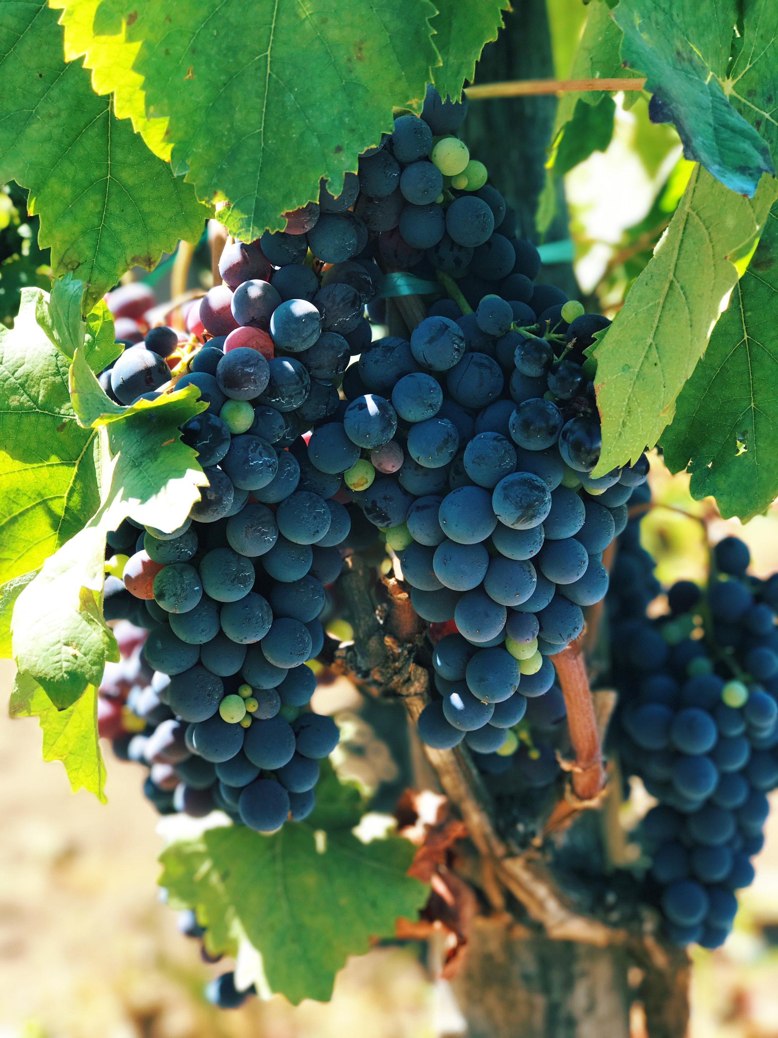 Fiscetti-Vines.jpg