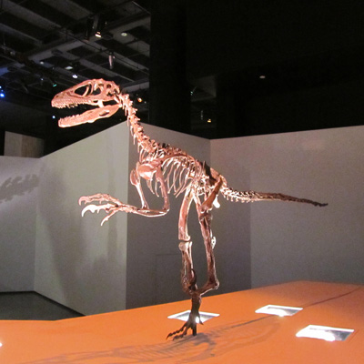 This is not a velociraptor. It's a Deinonychus, a Velociraptor cousin, displayed in the  Houston Museum of Natural Science .