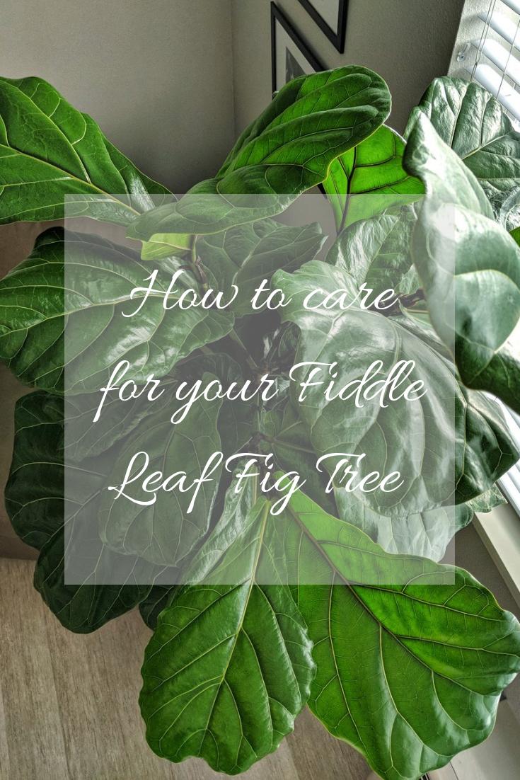 Fiddle Leaf Pinterest Style By Julianne