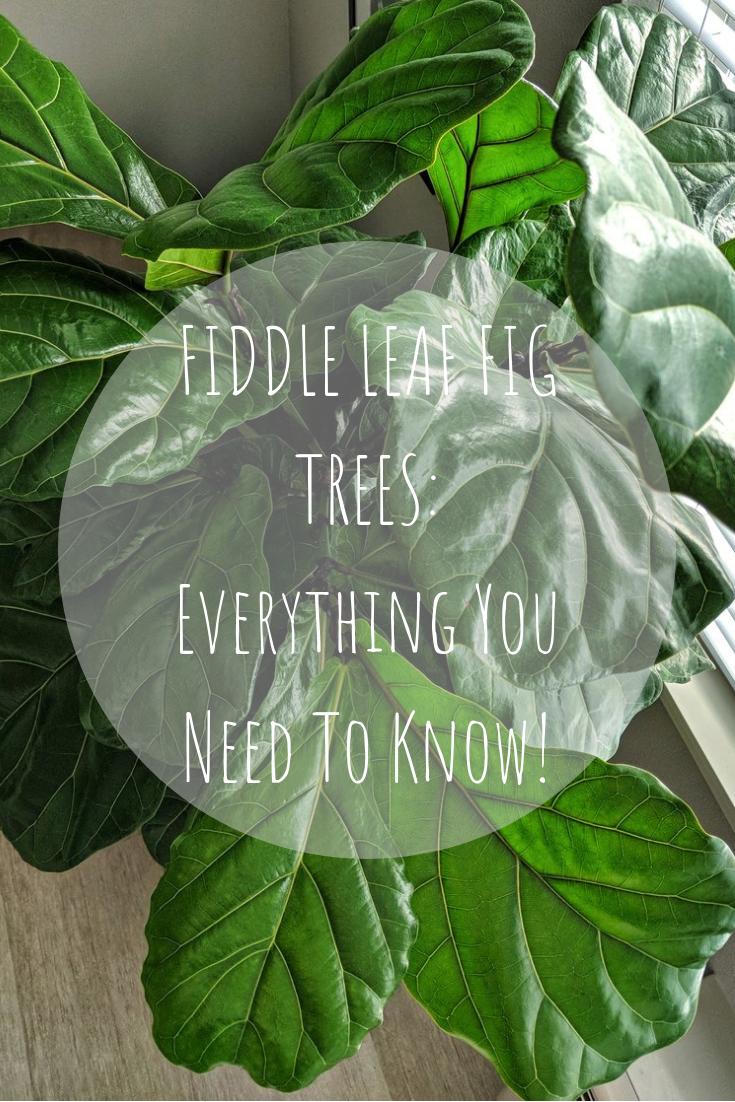 Fiddle Leaf Fig Tree Pin Style By Julianne