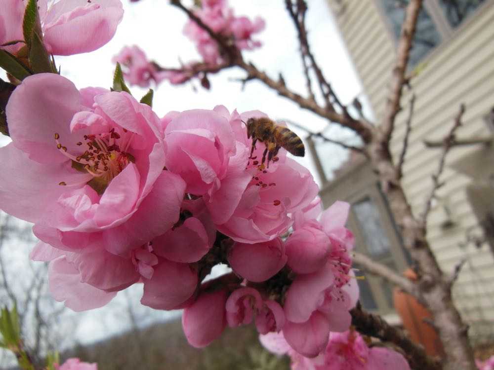 One of my honeybees visits a blooming dwarf apricot tree in bloom March 20, 2016.