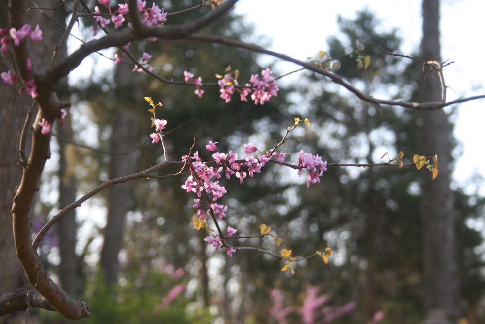 One of my blooming redbuds early morning starting to show heart-shaped leaves.