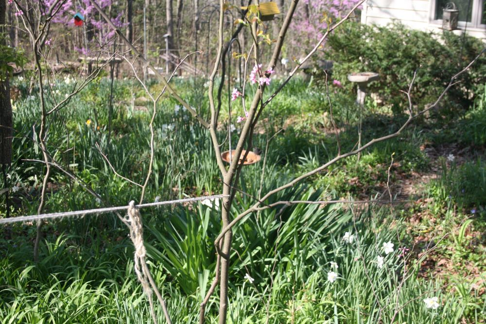 I tie young Eastern redbuds to nearby older trees to help them grow straight.