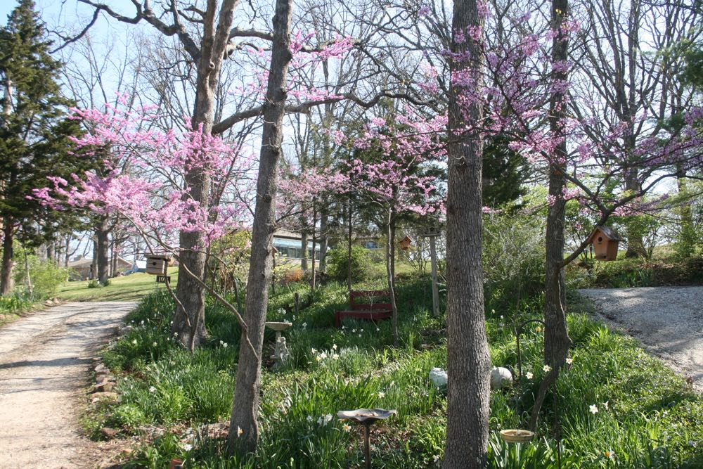 Eastern redbuds add a lovely canopy of pink to my Missouri spring garden.