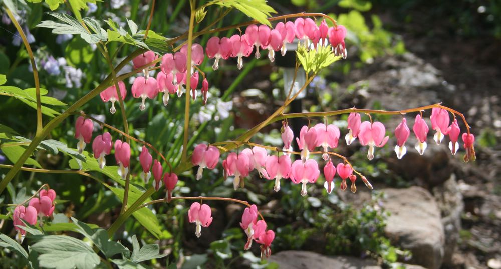 One of my favorite spring flowers, bleeding heart, greets visitors next to my front door.