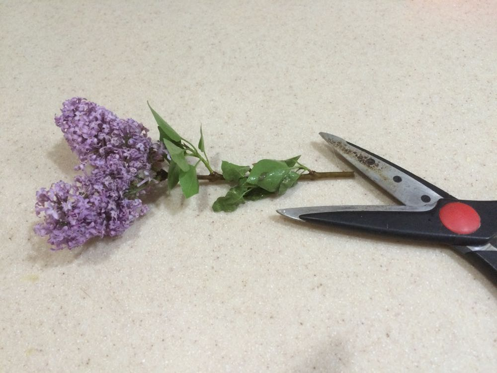 cutting lilacs