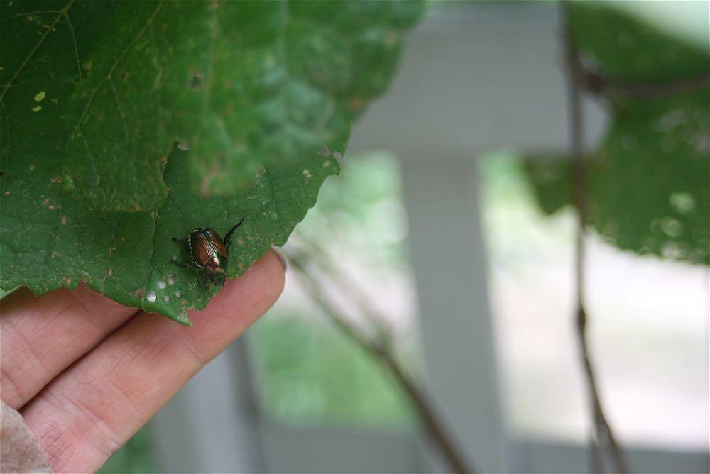 A Japanese beetle on a wild grape leaf at Bluebird Gardens.