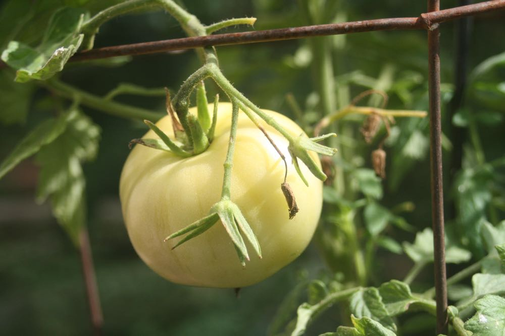 A Beefsteak tomato at Bluebird Gardens with blossom drop from record hot temperatures.