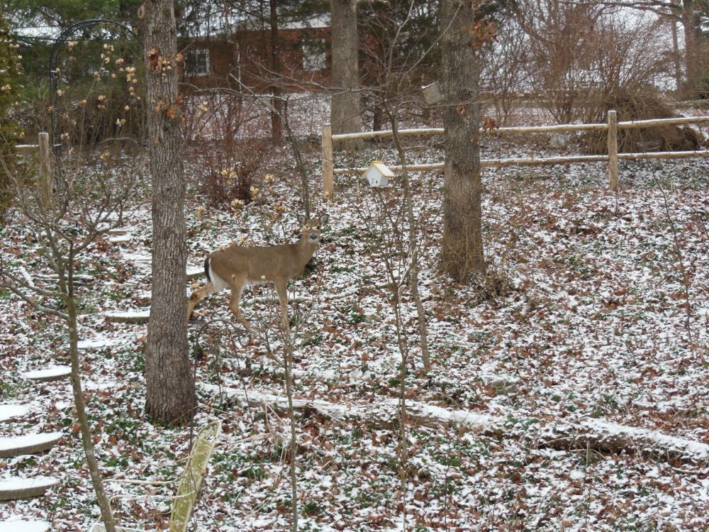 I tend to see deer in my garden more in winter than summer.