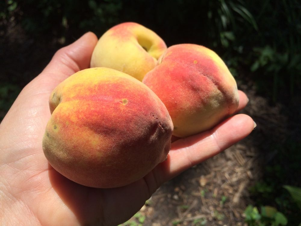 My first homegrown peaches - well, the first ones I beat the squirrels to getting!