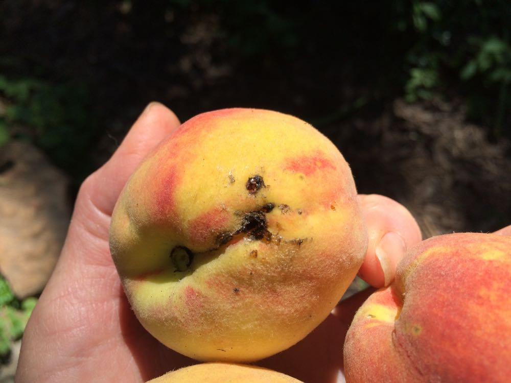 Homegrown peach with a bug spot